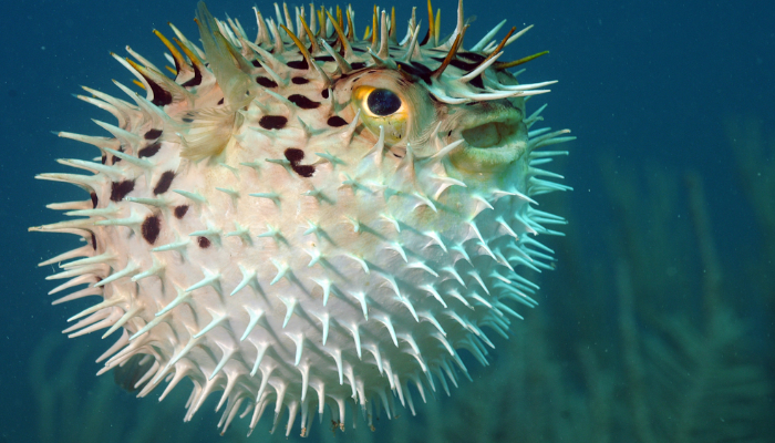 Pufferfish pic